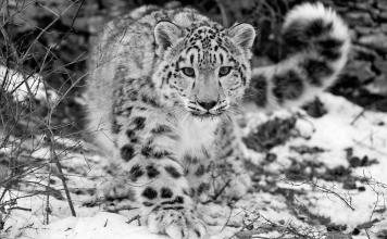 Kabar Gembira untuk Dunia, Macan Tutul Salju Sudah Bebas dari Status 'Terancam Punah'!