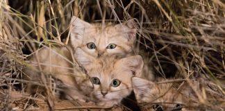 Too Cute Too Be True: Anak Kucing Pasir Liar Tertangkap Kamera untuk Pertama Kalinya!