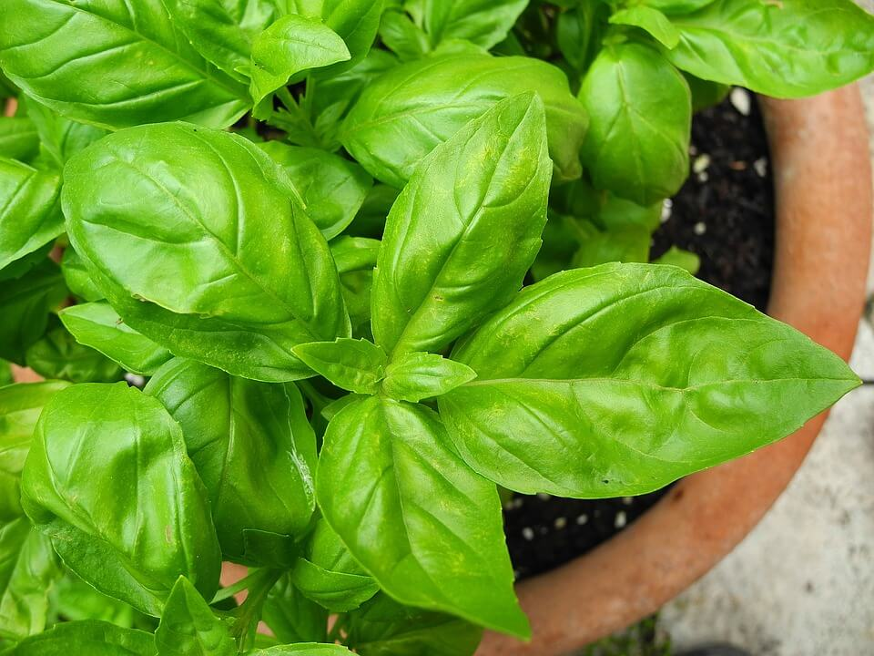 10 Makanan yang Sebaiknya Tidak Disimpan di Dalam Kulkas basil