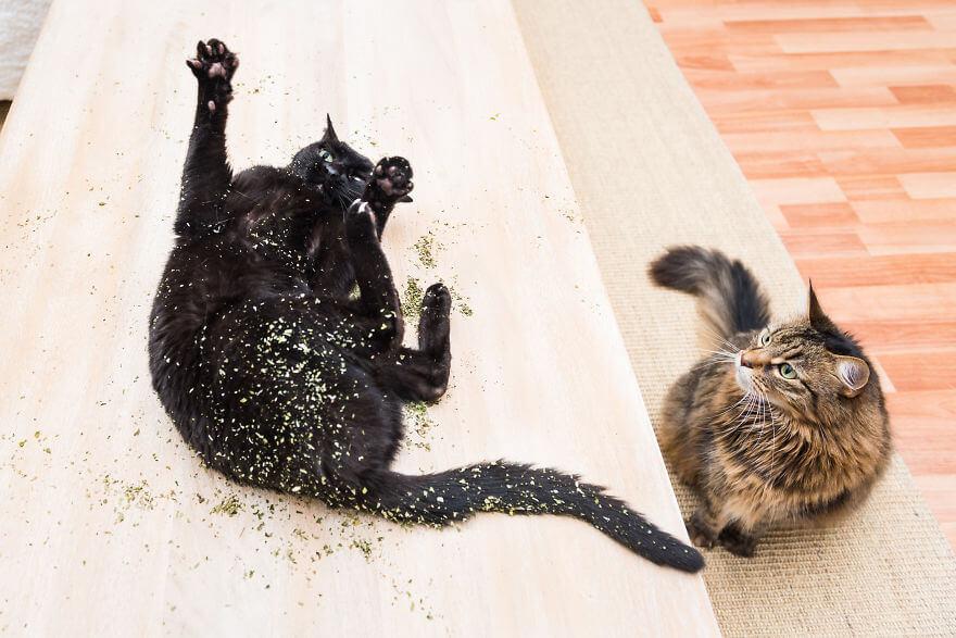 18 Foto Gemas Kucing Yang Mabuk Catnip Portal Wanita Muda