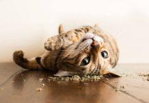 """18 Foto Gemas Kucing yang """"Mabuk"""" Catnip"""