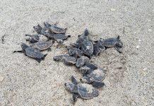 Pembersihan Besar-besaran Pantai Ini Berhasil Membuat Kura-Kura Kembali Setelah 20 Tahun