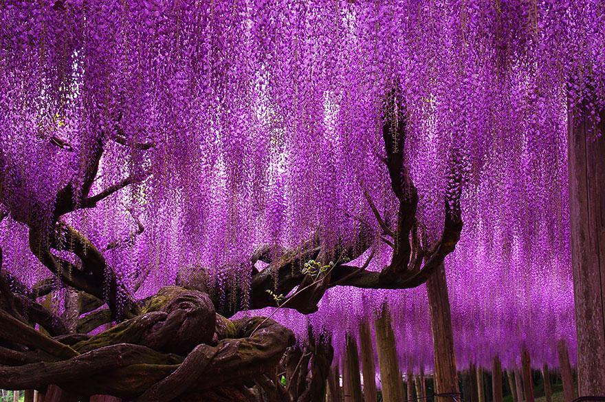 Menikmati Taman Wisteria Yang Memanjakan Mata di Jepang