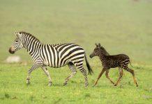Viral, Zebra Polkadot Ini Hebohkan Dunia Maya!