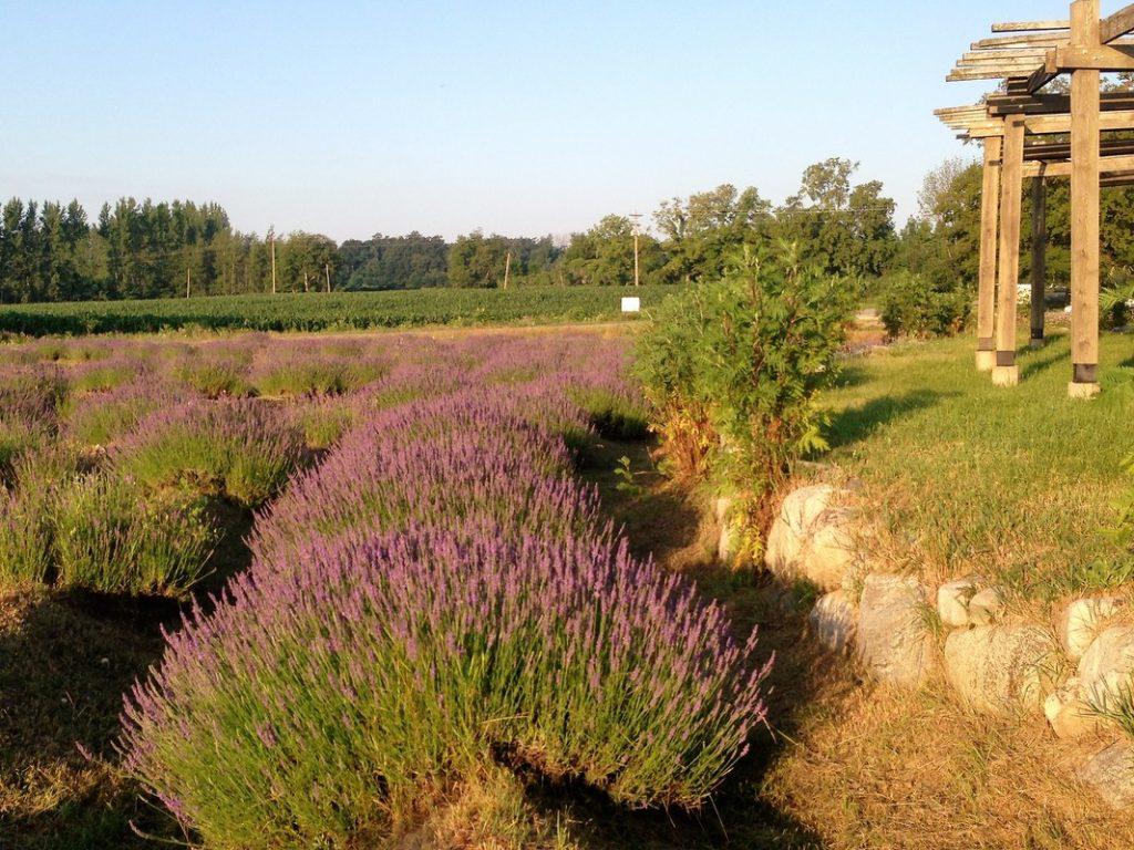 Santai, Jalan-Jalan di Labirin Lavender Dulu, Yuk!