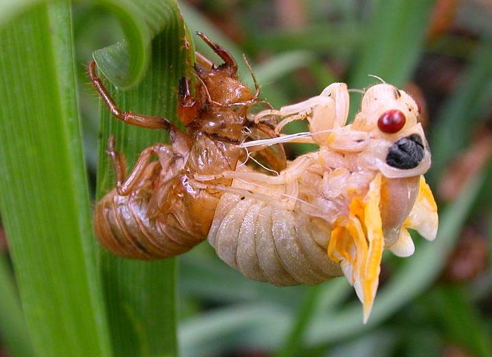 Kamu Alergi Seafood? Jangan Makan Cicadas atau Tonggeret Ya!
